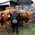 Paides peetud piimafoorumil kutsus OÜ Põlva Piim Tootmine juhatuse liige Aivar Häelm suurtootjaid rajama oma piimatööstust. Tema hinnangul on Eesti piimatööstused vanad ja haiged, tehaste lappimine pole 15 aasta jooksul viinud tööstusi uuele tasandile. Uue tööstuse maksumuseks arvestas Häelm kuni 250 miljonit krooni.