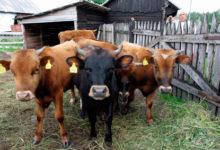 Saaremaa piimatööstus Mandri-Eestisse?