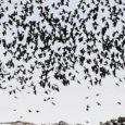 """Orissaare alevikus on probleem hakkide ja varestega. Aleviku elanikud kurdavad lärmakate lindude vaibumatu kisa üle, samuti korraldavad linnud rünnakuid koduaedadele, tehes marjapõõsastel ja kirsipuudel puhta töö jne. """"Hakkide ja vareste […]"""
