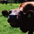 Enamik 2004.–2005. aasta pindalatoetuste tagasinõudmisega seotud Lääne-Eesti põllumajandustootjaid võivad toetuse tagasimaksmisest pääseda.