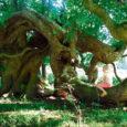 Ruhnus lõppes ligi pool aastat kestnud konkurss väikesaare kõige tavatuma ja huvitavama puu väljaselgitamiseks. Nn kuningapuu tiitli pälvis väärikas eas Holma künnapuu.