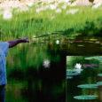 Kaali meteoriidikraatris on õitsema puhkenud imeilusad valgeõielised vesiroosid. Kuressaarest toodud taimed istutati kraatrijärve möödunud aastal.