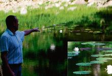 Kaali kraatris õitsevad Kuressaarest pärit vesiroosid