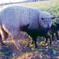 Saaremaa suurim lambakasvatusettevõte Saaremaa Ökoküla AS kasutab sel aastal esmakordselt Uus-Meremaa lambapügajate teenuseid.