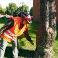 Septembrikuu jooksul langetab Kuressaare Rohu tänav 1A korteriühistu juhatus otsuse, kas nõuda süüdlaselt kahjutasu nende hoovil oleva pirnipuu jõhkra kahjustamise eest.