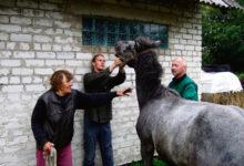 Saaremaa hobused maaülikooli veterinaaride pilgu all