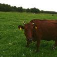 Kärla põllumajandusühistu hakkab 1. oktoobrist oma piimatoodangut mandrile vedama, sest seal on piima turustamine ettevõttele tulusam. Toorpiima veab mandrile ka Saaremaa piimatööstus ise.