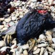Üleeile õhtul avastas ornitoloog Mati Martinson Sõrve säärest õlised linnud. Eileõhtuse seisuga oli võimaliku reostuse tõttu surnud 15 lindu ning õliga kokkupuutunud linde võis olla saja ringis. Eile ei olnud piirivalve ja keskkonnainspektsioon reostuse kohta suutnud veel tuvastada. Abipalve reostuse leidmiseks edastati ka kalalaevadele.