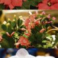 Jõulutäht ehk kaunis piimalill /Euphorbia pulcherrima/