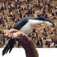 Ligemale 60 000 kormorani sööb mitu korda rohkem kala kui rannakalurid neid merest välja püüavad.