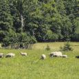 Mahetalunik ja lambakasvataja Veiko Maripuu loodab sügiseks käivitada lammaste kogumiskeskuse, et Saaremaa lambaid edukamalt turustada. Keskuse loomine peaks aitama kohalikul lambalihal paremini kaubanduskeskuste lettidele jõuda.