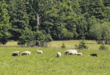 Saaremaa lambakasvataja üritab luua ühisturunduskeskust