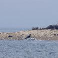Eesti loomakaitsjate liidu kinnitusel ei vaja randa tulnud hülgepojad inimeste abi. Loomakaitse liidule on sel nädalal juba kolmel korral teada antud rannal ringiukerdavatest hülgepoegadest, teatas liit BNS-ile. Inimesed arvavad, et […]