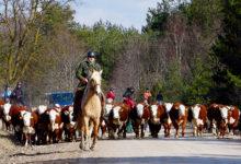 Muhumaa mullikad marssisid Lõetsa laudast Kantsi karjamaale