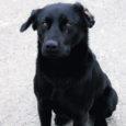 Kaks nädalat tagasi avastasid Kuivastu sadama töötajad sadamast suuremat kasvu isase koera, kes võib olla paariaastane, on sõbralik ning on näha, et otsib oma peremeest.