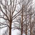 """Kuressaare linnavalitsus väljastas AS-le Sareta raieloa üheksa papli mahavõtmiseks, et tagada inimeste ohutus ja heakord. """"Need puud on vanad ja mädanikuga nakatunud,"""" ütles Oma Saarele Kuressaare linna heakorraspetsialist Kaljo Ellik."""