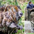 Reedesel koprapäeval Muhus Vahtraste külas Lõetsa peakraavi juures tõdesid nii keskkonnaminsteeriumi ja -teenistuse ametnikud, koprauurijad, maaomanikud, maaparandusbüroo töötajad kui ka jahimehed, et kobraste arv Lääne-Eesti saartel on ülemäära suureks paisunud ja loomade tehtavad kahjustused märgatavad, mille tõttu on vaja kümmekond aastat tagasi saartele jõudnud uusasukate arvu piirata.