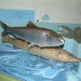 Saaremaa muuseumi loodusosakonnas on nüüdsest võimalus vaadata selle Sõrve vetest püütud hiidräime mulaaži, kelle väljapüüdmisest Oma Saares aasta tagasi, 15. mail 2007 artikkel ilmus.