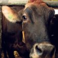 Kõljala POÜ lehm Täpik saavutas kolmanda laktatsiooni toodanguks 19 059 kg, mis on Eesti lehmade seas läbi aegade suurim laktatsiooni piimatoodang. Kõljala POÜ juht Tõnu Post ütles, et Täpiku ema […]