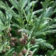Eesti Dendroloogia Seltsi poolt Saaremaa haruldasemaks puuks peetav jaapani krüptomeeria võib anda Eesti oludes oma esimesed järglased.