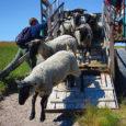 Vilsandi uuteks elanikeks on Saaremaa Ökoküla Eesti tumedapealised ja Suffolki tõugu lambad, kes Vilsandi looduse päästmiseks suveks sealsetele rannakarjamaadele saadeti.