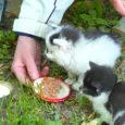 Esmaspäeval avastasid Kudjape surnuaial lilli kastmas käinud inimesed kalmistu tööriistakuuri juurest väikesed rähmas silmadega kassipojad.