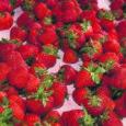 Saaremaa maasikakasvatajad tõdevad, et nõudlus kohalike maasikate järele on väga suur, samal ajal on Saaremaal maasikakasvatajaid vähe. Kõrgetest kasvatuskuludest ja nõudlusest tingituna on saarel kasvatatud maasikate hind aga üsna kõrge. Inimesed ostavad kohalikke maasikmarju aga hinnast sõltumata, praktiliselt iga hinnaga, ütlevad kohalikud marjakasvatajad.