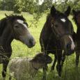 Mustjala külje all Vanakubja külas elab üks isevärki lammas. Piri-Piri nimeks. Toodud Soomest koerte kiusamise eest seitsmekuisena Kooli-Kopli ratsatallu, leidis ta sealt endale sõbrad hobuste näol, kellega koos ta oma päevi nüüd veedab. Taluperemees on sellega nii harjunud, et nimetab Piri-Pirit jutu käigus nii mõnigi kord hobuseks.