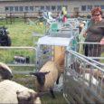 Eile tutvustati Lõmalas Saaremaa Ökokülas ainulaadset lammaste kaalusüsteemi. Uudistama olid tulnud ka lambakasvatajad Lõuna-Eestist.
