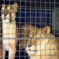 Eile sai Kuressaares avalöögi Tsirkuse Tuur. Loomakaitsjate õhutusel meedias palju kära tekitanud loomade tsirkus meelitas kohale suure hulga inimesi, kes moodustasid enne etenduse algust pargi taha pika järjekorra. Naeratavate ja suhkruvatti näost sisse ajavate külastajate vahel hulkus ka üks mõtliku näoga tütarlaps, kes jagas lendlehti, kus seisid seitse põhjust, miks tsirkust mitte külastada.