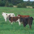 """Möödunud nädalal Tartu maamessi raames korraldatud lihaveiste oksjonil müüki pandud 15 lehmikust ostsid saarlased koguni seitse looma. """"Seekord oli tunda ka oksjonihõngu, varem pole sõna tõsises mõttes oksjoniks läinud,"""" ütles […]"""