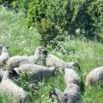 Saaremaa mitmed söögikohad on pidanud loobuma lambaliha pakkumisest, sest nende sõnul ei olevat hoolimata Saaremaal populaarsest lambakasvatusest siin saada kvaliteetset ja korralikku lambaliha.