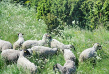 Söögikohtadel ei jätku head lambaliha