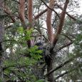 Tänavu suvel Saaremaal Valjala kandis püütud, raadiosaatjaga varustatud ja praegu lõunamaale talvituma siirduv musttoonekurg Valja osutus isaslinnuks.