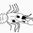 Sadadel Leisi vallas ebaseaduslikust tiigikasvandusest välja võetud vähkidel avastati lapihaigus, mis nüüd levib edasi ka kasvanduses, kuhu koorikloomad viidi.