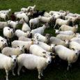 """11 Eesti lambakasvatajat on loonud uue lambakasvatajate katusorganisatsiooni – Eesti tõulammaste aretusühingu, kuhu pole aga seni kutsutud ühtegi saarlast. """"Praegu on dokumendid esitatud ja kui riik annab loa sellise asjaga […]"""