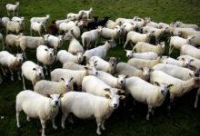 Mihklipäev toob lauale lambaliharoad
