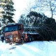 Pea viietunnine operatsioon Kuressaare kesklinna toodava kuuse metsast kättesaamiseks pani proovile töömeeste leidlikkuse ja tehnika vastupidavuse. Kaarma vallast Vaiverest toodud kuuse pikkuseks mõõdeti pärast mahasaagimist 17 meetrit.