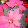 Jõulukuu kodumaistest taimsetest sümbolitest on kesksel kohal harilik kuusk, igihaljas puu, rahvakeeles ka jõulupuu. Komme tuua jõulupühade ajal tuppa kuusk juurdus meie rahvatraditsioonis 19. saj lõpupoole.