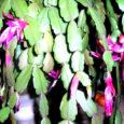 Kaktuselised (Cactaceae) on omapärane sukulentide sugukond ligikaudu 2000 liigiga, mis on looduses levinud põhiliselt Ameerikas. Kaktusi tunneme eelkõige kui kõrbetaimi, mille enamikul liikidel on lehed muundunud asteldeks ja karvakesteks.