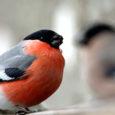 Eelmise aasta lõpukuudest alates olen märganud oma töökabineti akna all naaberkrundil kasvavatel sirelipõõsastel leevikesi. Juba hommikuhämaruses on põõsal kuus lindu, kes vahepeal ära lendavad ja ka rohelist muru inspekteerivad, siis mõneks ajaks hoopis kaovad, et varsti jälle tagasi tulla.