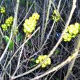 Kuressaare huvitavas omapärases haljastuses annavad tooni erinevad liigid, millest dendroloog Aleksei Paivel aastate eest Kuressaare haljastusest rääkides tõi esile järgmised: ruaani sirel, äädikapuu e sumahh, must leeder, harilik robiinia. Teistes Eesti linnades pole neid liike nii arvukalt kui siin. Liigiliselt mitmekesised on ka hekid: ebajasmiin, lumimari, pukspuu, sireliliigid, enelad jne.