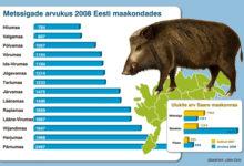 Emiste küttimine vähendas Saare metssigade arvukust