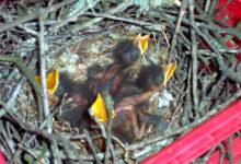 Linnupojad lahkuvad pesast