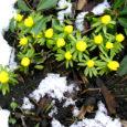 Kevad pole nagu külaline, kes koputab uksele, astub tuppa ja kohal ongi. Kevad tuleb pikkamööda ja esimesed märgid ta tulekust looduses teevad erilist heameelt.