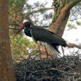 Eesti ornitoloogiaühing ostab EAGLELIFE projekti raames Saaremaal eraomanikelt neli must-toonekure püsielupaikades asuvat ja Natura 2000 võrgustikku kuuluvat maatükki.