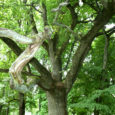 Hävimise või looduskaitseväärtuse kadumise tõttu arvatakse Saaremaal kaitse alt välja 18 looduskaitsealust puud, millest osa on hävinud juba hulk aastaid tagasi. Keskkonnaameti Hiiu-Lääne-Saare regiooni kaitse planeerimise spetsialist Kadri Paomees rääkis, […]