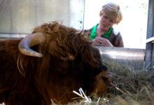 Saaremaale toodi sugupullid otse Šotimaalt
