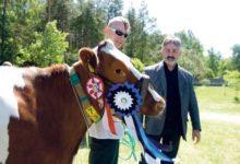 Saaremaa kauneimat lehma lüpstakse Kõljalas (fotod)