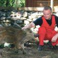 Muhus Vanatoa turismitalu pidav Erkki Noor, kes 1. aprillil metsast kolm alajahtununa näivat metsseapõrsast leidis ja neid kodus kasvatama hakkas, ei tohi keskkonnaameti hinnangul seda tegevust praegustel tingimustel jätkata.
